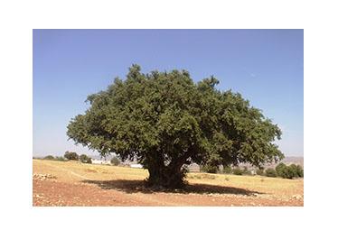 Argan drvo